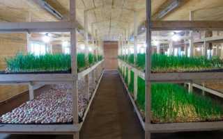 Выращивание зеленого лука в подвале — тонкости и секреты