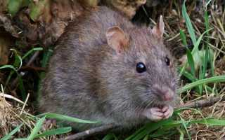 Подвальные крысы: как избавиться от грызунов