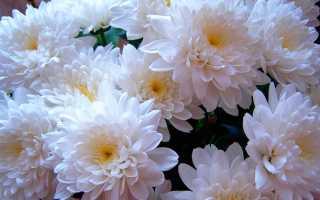 Хранение хризантем в подвале и другие способы зимовки цветов