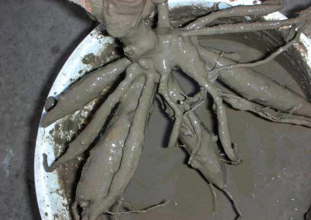 Корень в глине