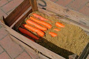 Морковь в ящике с песком