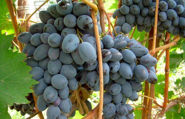 Ягоды винограда