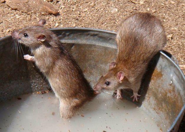 Крысы в ведре