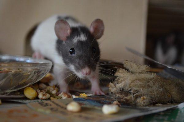 Подвальные крысы