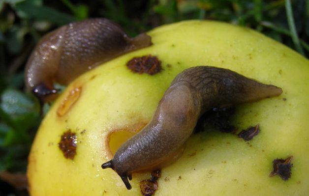 Улитки на яблоке