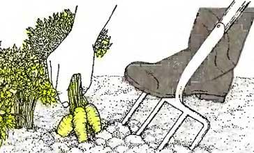 Выкапывание корнеплодов тупыми вилами