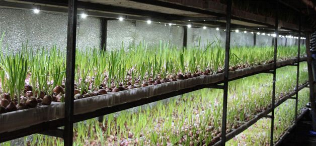 Полки для выращивания лука
